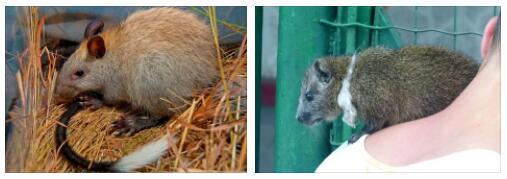 Cuba Tree rats